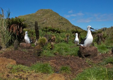 Albatrosses. Source: Wikimedia Commons